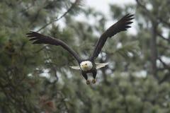 老鹰采取飞行 免版税图库摄影
