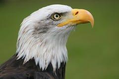 老鹰顶头白色 免版税库存照片