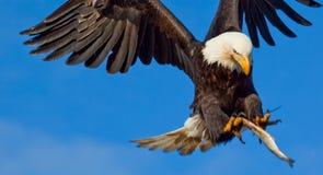 老鹰飞行传播翼 库存图片