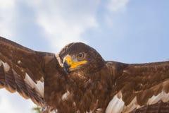 老鹰飞行喜欢 库存照片