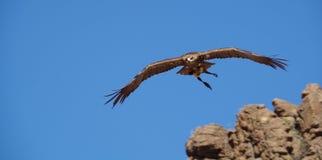 老鹰飞行在峭壁 免版税库存照片