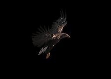 老鹰飞行美丽被隔绝在黑色 免版税库存照片