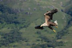 老鹰飞行被盯梢的白色 免版税库存照片