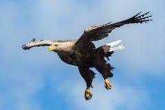 老鹰飞行被盯梢的白色 库存图片