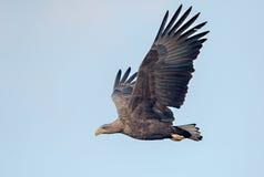 老鹰飞行被盯梢的白色 库存照片