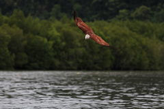 老鹰飞行水面上 免版税库存照片