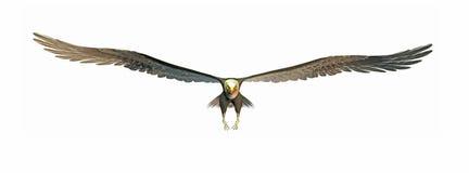 老鹰飞行 向量例证