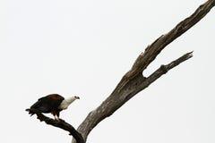 老鹰鱼被盯梢的白色 免版税库存照片