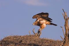 老鹰黄褐色 图库摄影