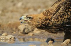 老鹰,黄褐色-从非洲的野生鸟-熄灭干渴和背景秀丽 免版税库存图片