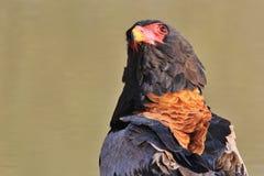 老鹰, Bateleur -猛禽狂放的鸟背景从自由的在非洲 免版税图库摄影