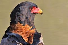 老鹰, Bateleur -猛禽狂放的鸟背景-非洲 免版税库存图片