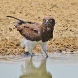 老鹰, Blackbreasted蛇-穿甲眼睛 库存图片