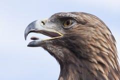 老鹰头和天空 免版税图库摄影