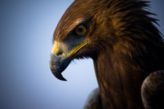 老鹰画象 库存照片