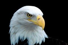 老鹰画象 库存图片