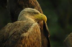 老鹰-食肉动物的鸟画象  免版税图库摄影