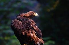 老鹰 图库摄影
