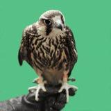 老鹰 免版税图库摄影