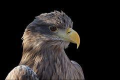 老鹰 库存图片