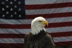 老鹰 免版税库存照片