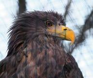 老鹰从rght的画象视图 免版税库存图片
