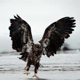 老鹰haliaeetus登陆了leucocephalus 库存照片