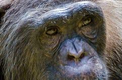 老黑猩猩特写镜头在Afi山的画象或黑猩猩操练大农场,尼日利亚 免版税库存照片