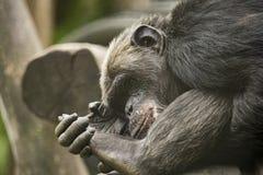 老黑猩猩 库存照片