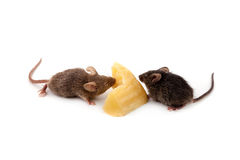 老鼠和乳酪 免版税库存照片