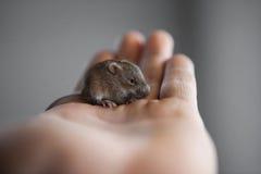 老鼠在我的手上 免版税库存图片