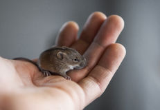 老鼠在我的手上 库存图片