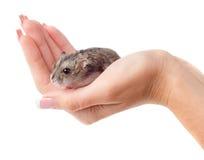 老鼠在手中 免版税图库摄影