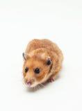 老鼠坐 免版税图库摄影