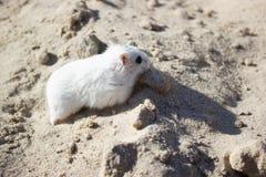 老鼠是一只dzhungar仓鼠 免版税库存图片