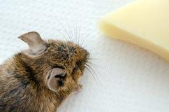 老鼠用乳酪,顶上的看法 免版税库存图片