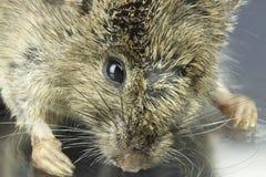 老鼠的高分辨率宏观照片 免版税库存照片