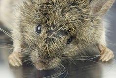老鼠的高分辨率宏观照片 免版税图库摄影