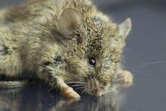 老鼠的高分辨率宏观照片 免版税库存图片