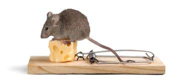 老鼠陷井用乳酪和老鼠在背景 免版税库存照片
