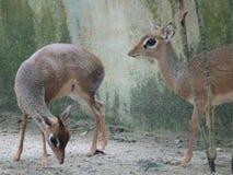 老鼠鹿或地方舌头叫在笼子化合物的kancil 免版税库存图片