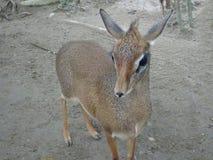 老鼠鹿或地方舌头叫在笼子化合物的kancil 免版税图库摄影