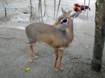 老鼠鹿或地方舌头叫在笼子化合物的kancil 图库摄影