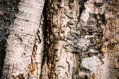 老,破裂和干燥木吠声 库存图片