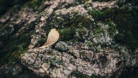 老,青苔隐蔽的树的干种子 免版税库存图片
