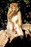 老猴子在非洲摩洛哥和关闭 免版税库存图片