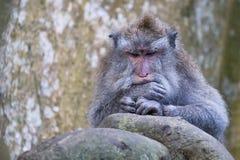 老猴子在巴厘岛,印度尼西亚 免版税图库摄影