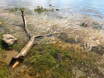 老结构树在水中 免版税库存照片