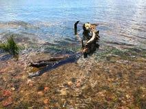 老结构树在水中 免版税图库摄影