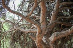 老结构树背景 免版税库存图片